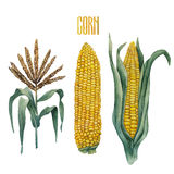 Watercolor corn collection Royalty Free Stock Images