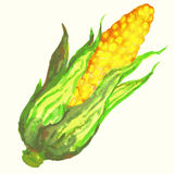 Watercolor corn illustration. Royalty Free Stock Photos