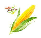 Watercolor corn Royalty Free Stock Photos