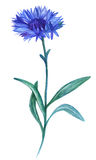 Watercolor cornflower. Isolated beautiful hand drawing summer flowers Stock Photos
