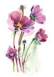 Watercolor -Cosmos Flowers- Stock Photos