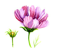Watercolor Cosmos flowers Stock Photography