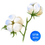 Watercolor cotton plant Stock Image