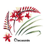 Watercolor crocosmia collection Stock Image