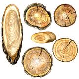 Watercolor cross section of tree trunk. Round and oval cross section of tree trunk. Wooden texture with tree rings. Watercolor hand drawn tree rings isolated on royalty free illustration