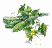 Watercolor cucumbers Stock Images