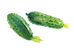 Watercolor cucumbers. Watercolor painting cucumbers on white background. Hand drawn vegetable illustration stock illustration