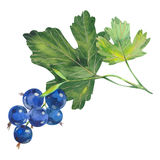 Watercolor  currant Royalty Free Stock Photo