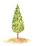 Watercolor Cypress Tree, Hand Drawn and Painted. Isolated on White Stock Image