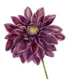 Watercolor dahlia flower. Hand painted autumn floral illustration isolated on white background. Botanical illustration Stock Images