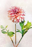 Watercolor dahlia flower Royalty Free Stock Photo
