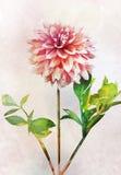Watercolor dahlia flower Royalty Free Stock Photo