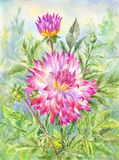 Watercolor dahlia in flowering garden. Summer illustration. Watercolor dahlia, flowering garden. Summer illustration suitable for postcard, poster, scrapbooking Royalty Free Stock Photography