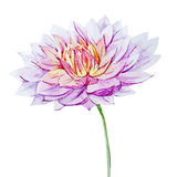Watercolor dahlia flowers Stock Photos