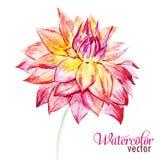 Watercolor dahlia flowers Stock Image