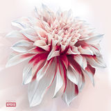 Watercolor Dahlia Stock Photography