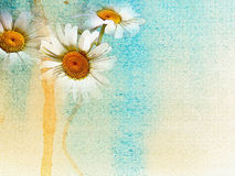 Daisies background watercolor   Stock Image