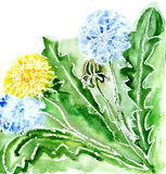 Watercolor dandelions. Watercolor yellow and fluffy dandelions Stock Photography