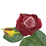 Watercolor Dark Red Rose bouquet Royalty Free Stock Image