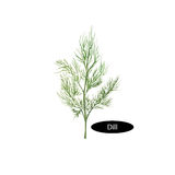 Watercolor dill  on white background. Anethum graveolens. Annual herb in the celery family Apiaceae. Healthy food natural organic plant. Evergreen herb with Stock Photo