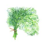 Watercolor greenery, dill. Watercolor dill on white background. Hand drawn vegetable illustration. Painting greenery Royalty Free Stock Image