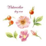 Watercolor dog-roses. Watercolor dog roses, dog-rose fruits and leaves. Floral set on white background. Watercolor flowers Stock Images