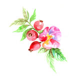 Watercolor dogrose branch with flower - vector illustration Stock Image