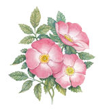 Watercolor dogrose illustration Royalty Free Stock Photography