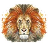 Watercolor drawing of an animal mammal animal predator of a red lion, red mane, lion-king of beasts, portrait of greatness, streng. Th, kingdom, india, in front Royalty Free Stock Photo