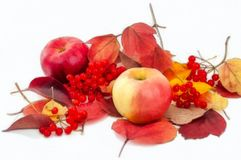 Watercolor drawing apples and viburnum on autumn leaves stock photos