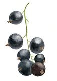 Watercolor drawing berries Stock Photography