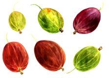 Watercolor drawing berries Stock Photo