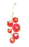 Watercolor drawing berries Royalty Free Stock Photography