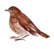 Watercolor drawing bird Royalty Free Stock Photos