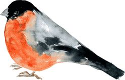 Watercolor drawing bird Stock Image
