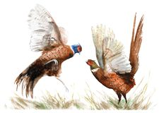 Watercolor drawing of a bird. two pheasants in the grass vector illustration
