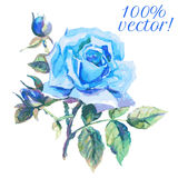 Watercolor drawing of blue rose Royalty Free Stock Images