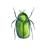 Watercolor drawing chafer. Green bug, hand drawn insect, beetle vector illustration