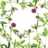 Watercolor drawing clovers. Watercolor drawing wild clovers with flowers,buds and leaves, painted botanical illustration in vintage style, color floral template Royalty Free Stock Images