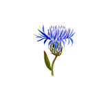 Watercolor drawing cornflower Stock Images