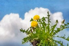 Watercolor drawing dandelion flower royalty free stock photography