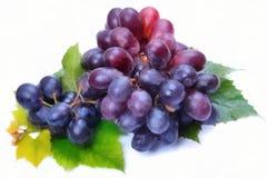 Watercolor drawing dark grapes stock photos