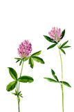 Watercolor drawing flowers of clover. Background with watercolor drawing wild flowers of clover, painted field plants, herbal border,botanical illustration in Stock Photography