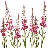 Watercolor drawing flowers of willow herbs Stock Image