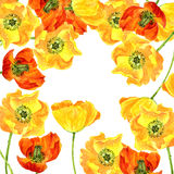 Watercolor drawing flowers of yellow poppies Royalty Free Stock Photography