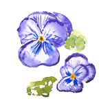 Watercolor drawing of fresh flowers aquarelle painting.  Royalty Free Stock Photography