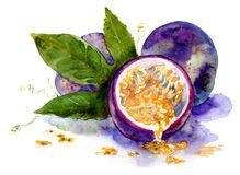 Watercolor drawing of fruit. ripe passion fruit. Sketch stock illustration