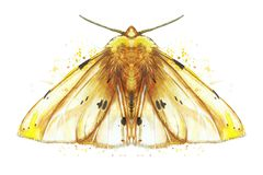 Watercolor drawing of an insect night butterfly, moth, yellow bear, beautiful wings, shaggy, animal, print, decor, design. Watercolor drawing of an insect night Royalty Free Stock Photos