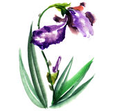 Watercolor drawing of iris Stock Image