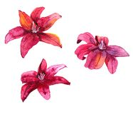 Watercolor drawing lily flower Stock Image